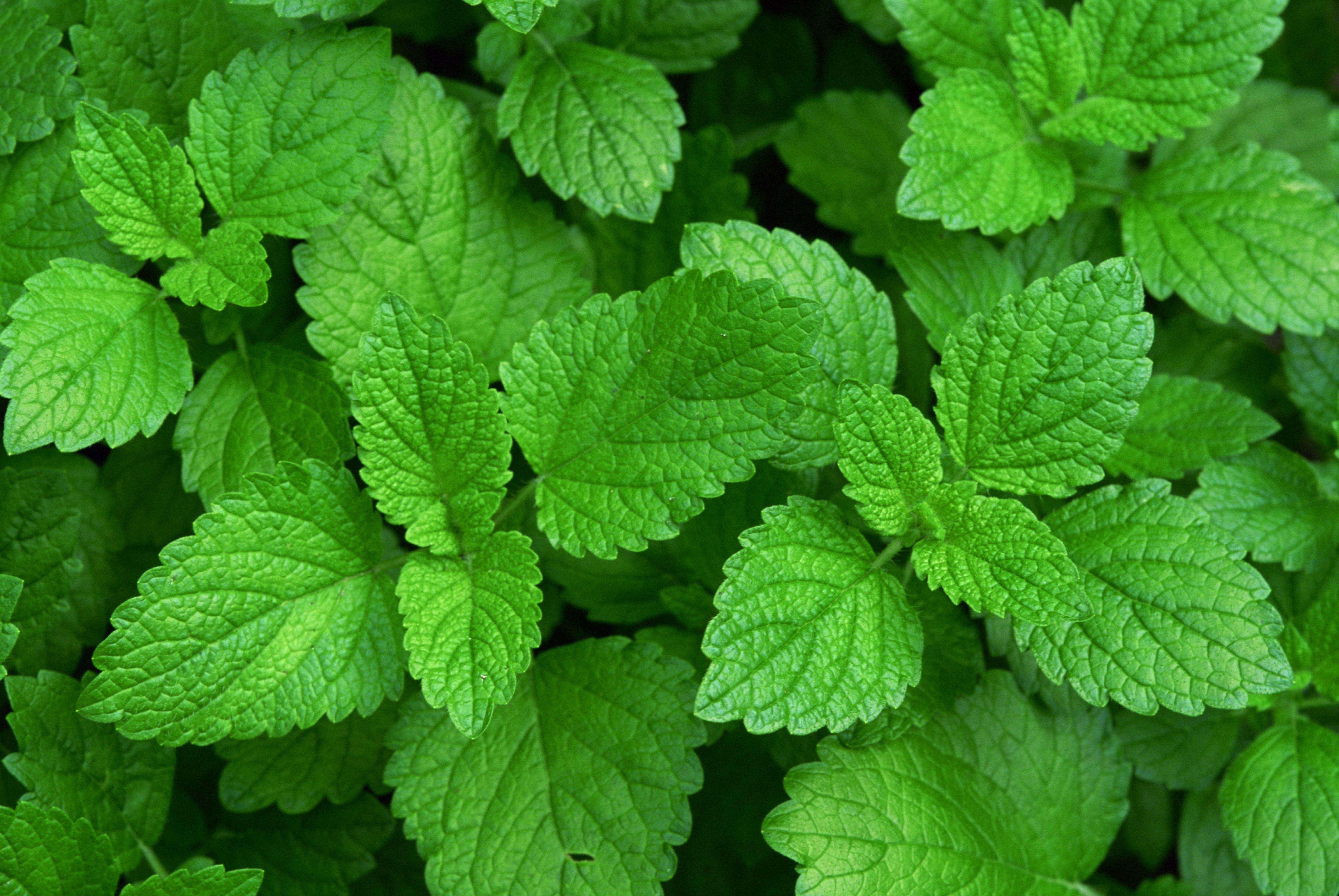 Best Herbs For Tea