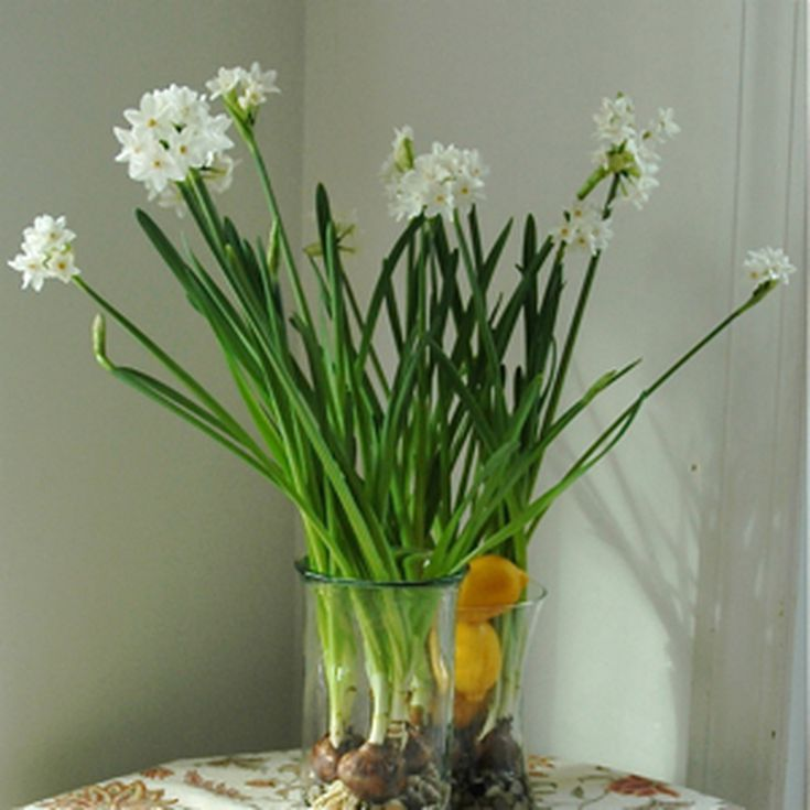 How to force paperwhite narcissus bulbs mightylinksfo Images