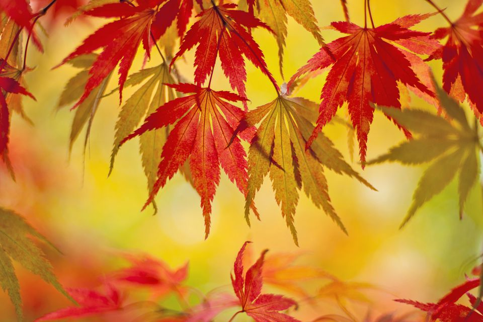 Japanese maple leaves against a golden background.
