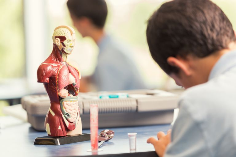 Student With Anatomical Model