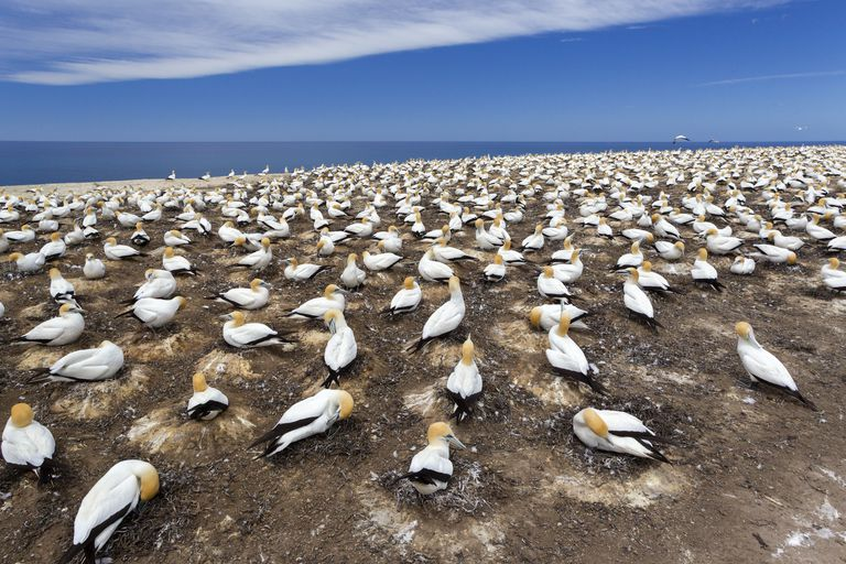 Australasian gannet (Morus serrator) breeding colony known as the Plateau colony, Cape Kidnappers, Hawkes Bay, New Zealand, November.