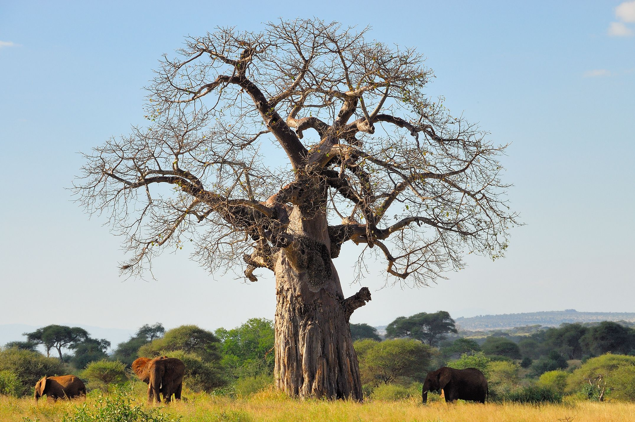 the baobab fun facts about africa 39 s tree of life. Black Bedroom Furniture Sets. Home Design Ideas
