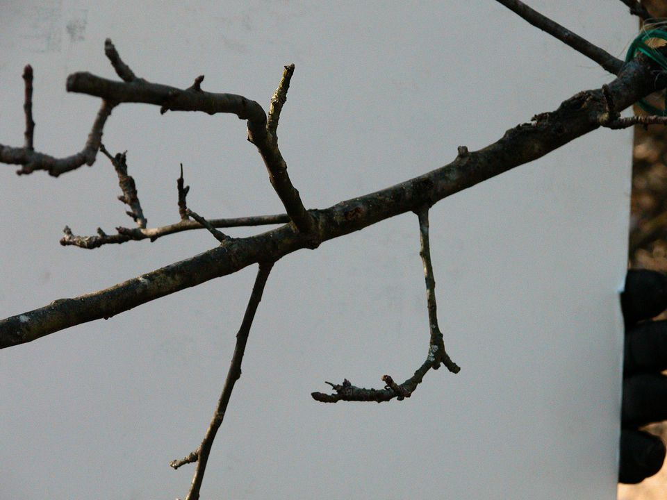 How to Prune Apple Trees - Fruiting Spurs