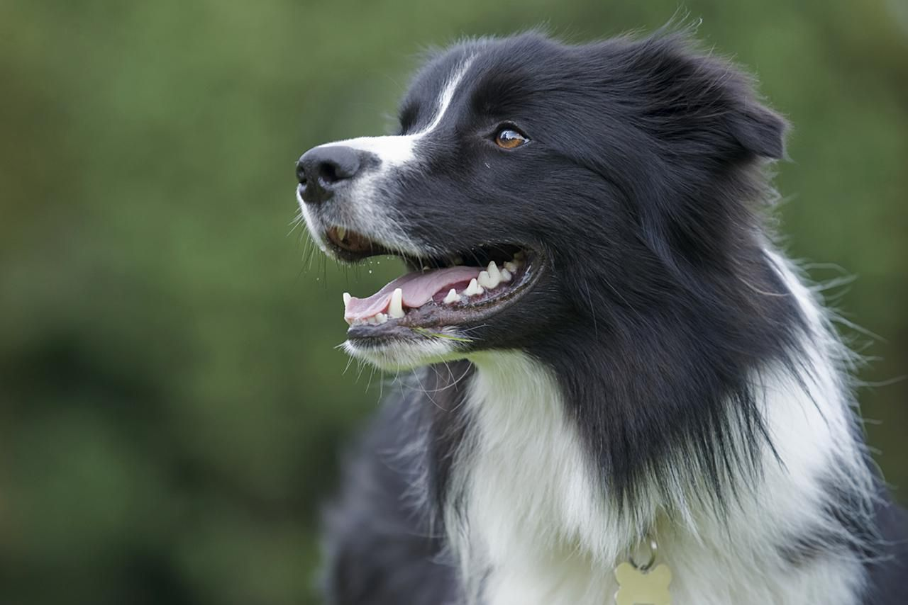 Border Collie Dog Breed Profile