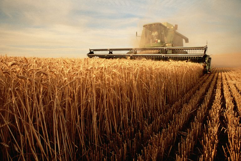 Farmer in a combine harvesting a wheat field