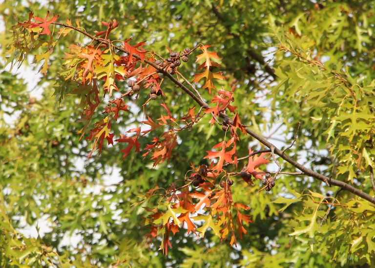 pin oak tree in autumn