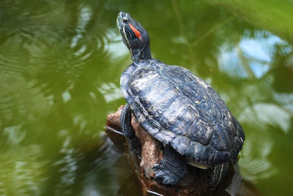 A red-eared slider turtle