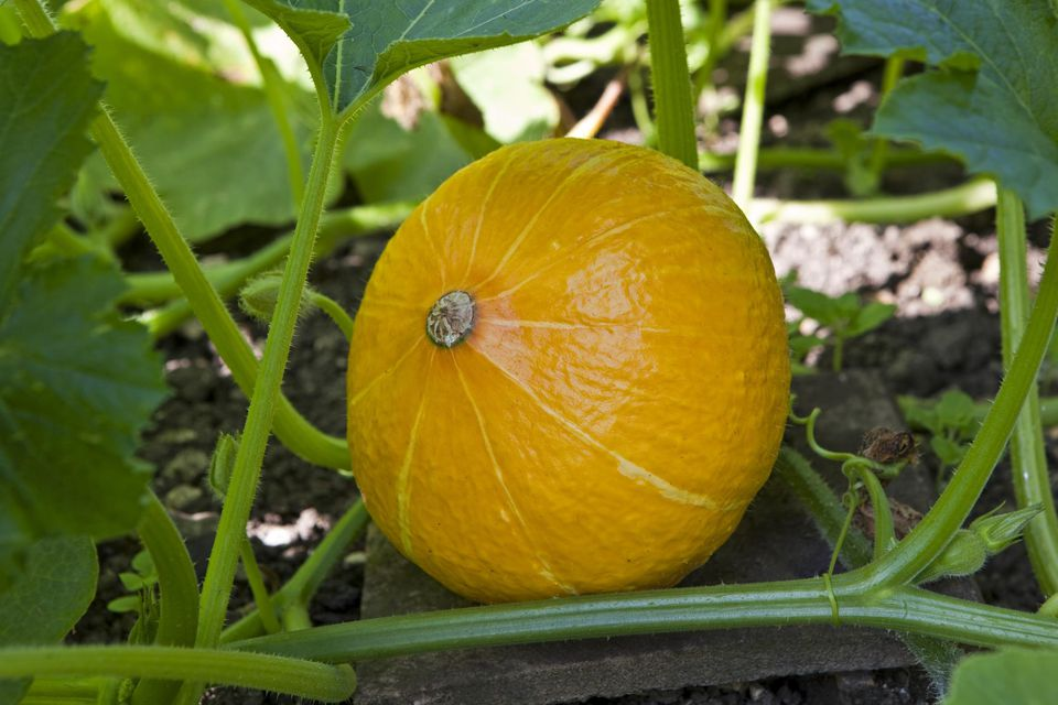 Vegetable squash ichi kuri growing on an allotment