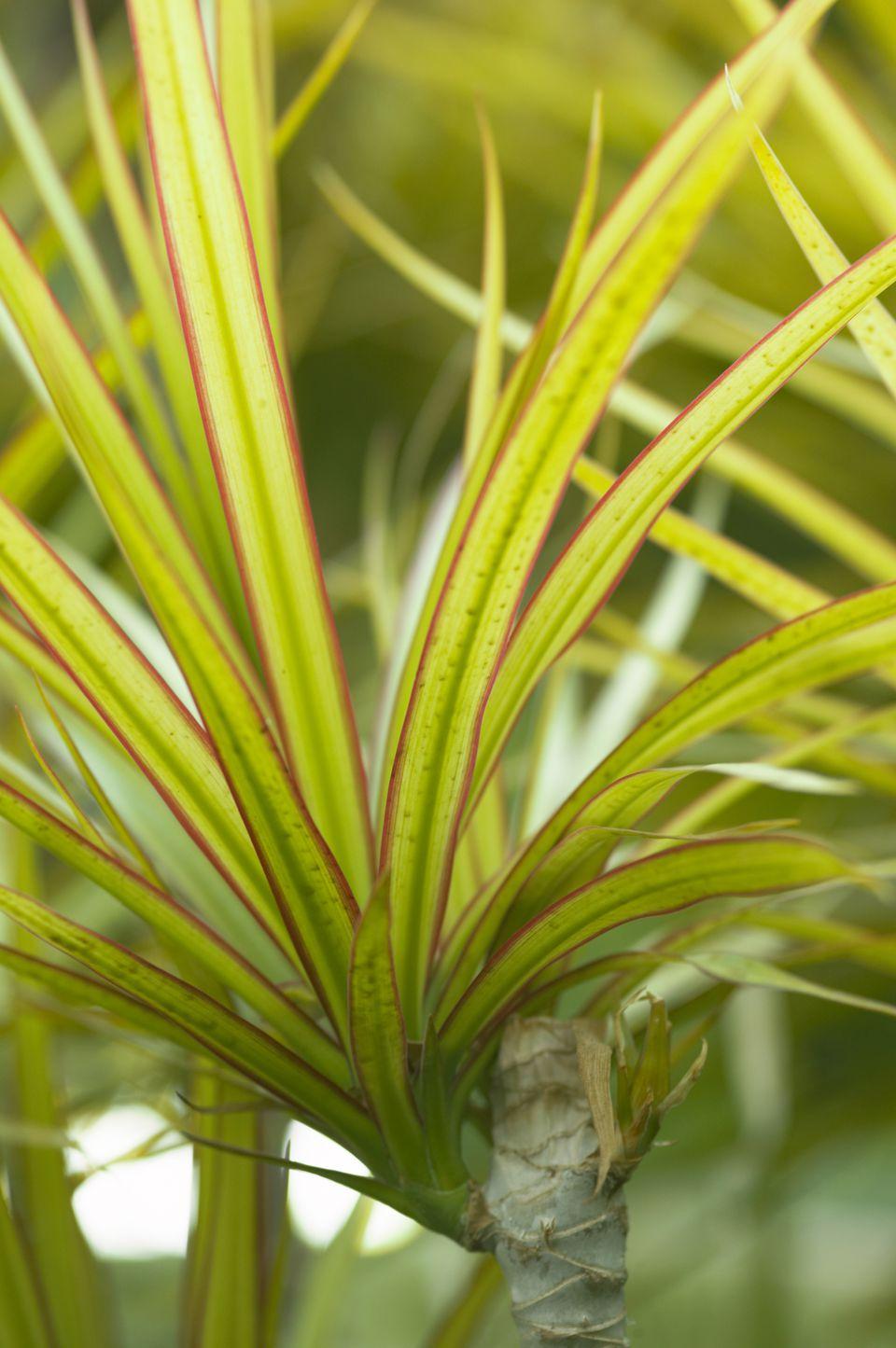 Close-up of Dracaena (Dracaena marginata)