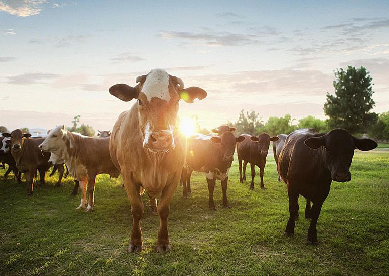 Hereford Cows in Pasture at Sunset