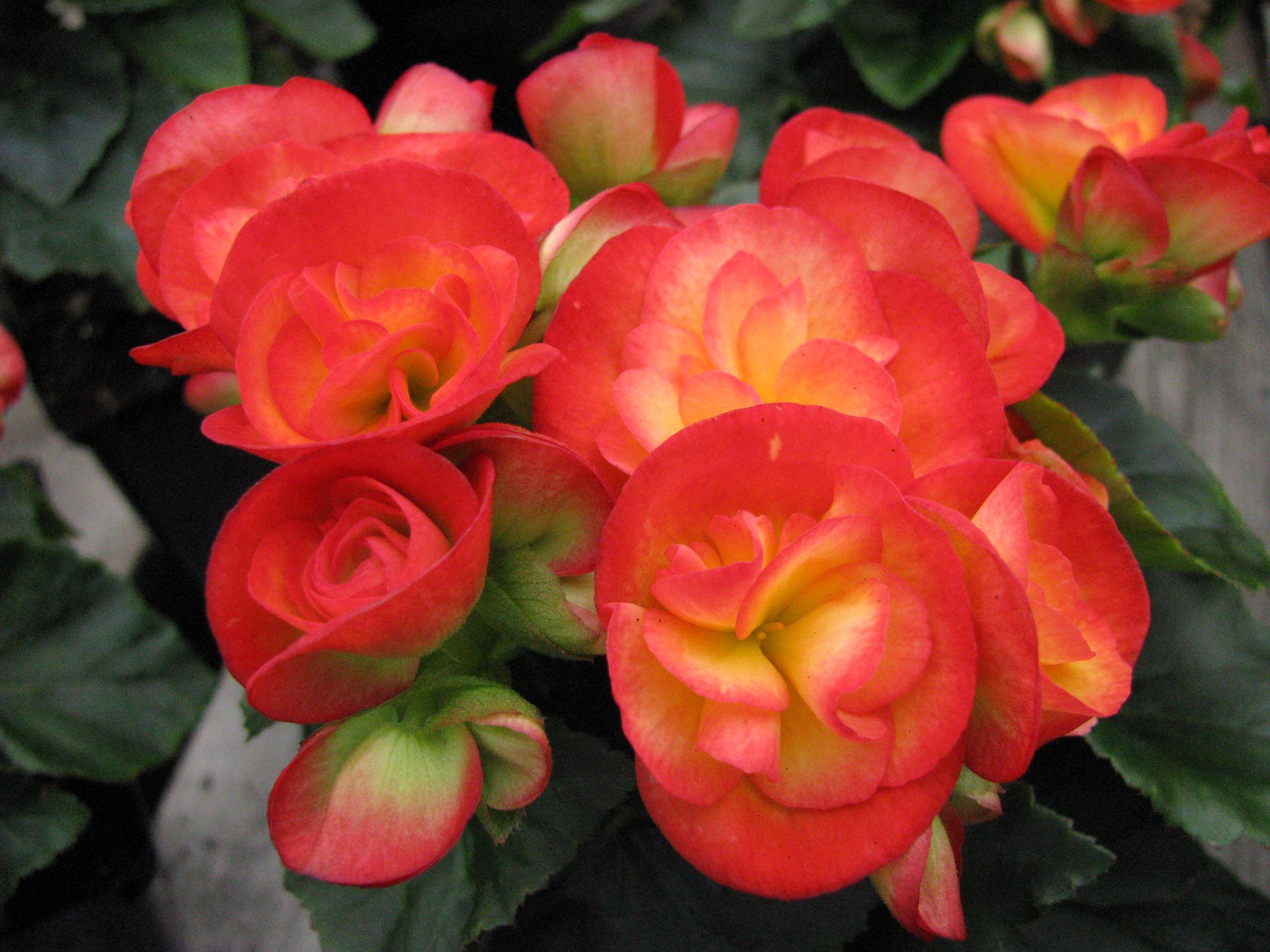 How To Grow Flowering Winter Begonias
