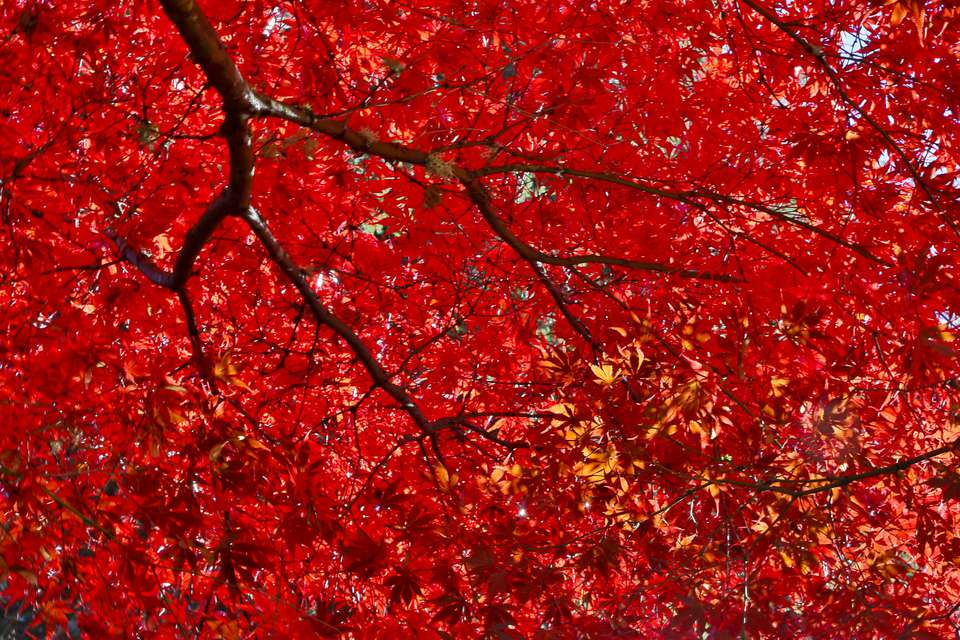 Japanese maple tree with red fall color.