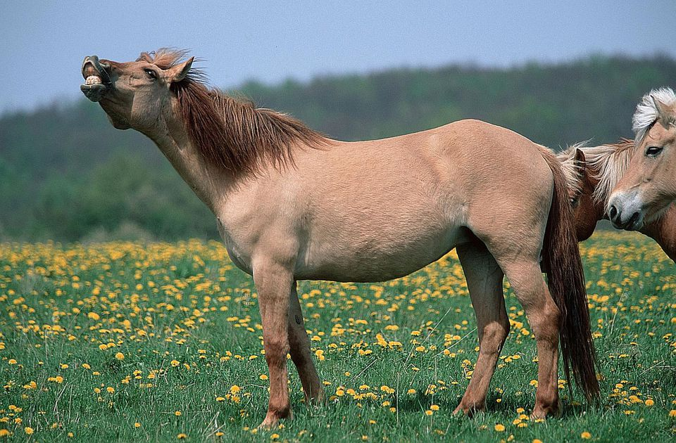 pony standing in field with nose in air and lips turned back