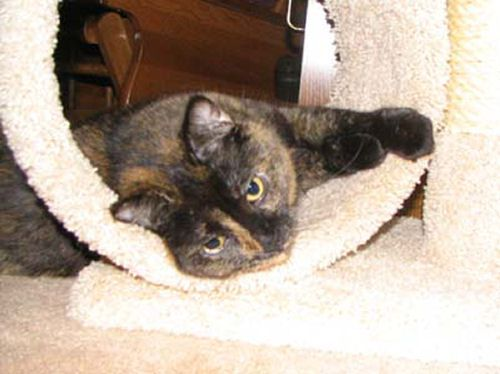 Picture of Coco Bear, a Plush Tortoiseshell Cat