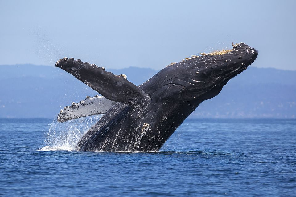 whale breach during whale watching tour in San Francisco