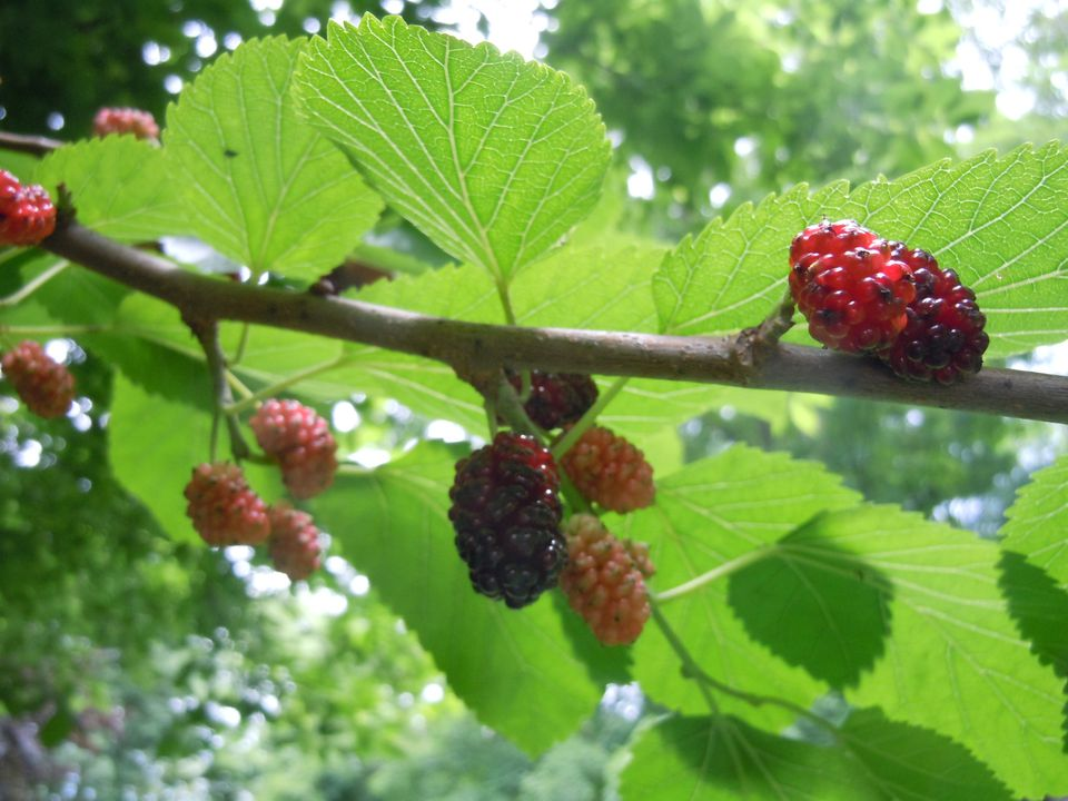 Mulberries ripening in late spring