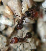 Southern Fire Ants