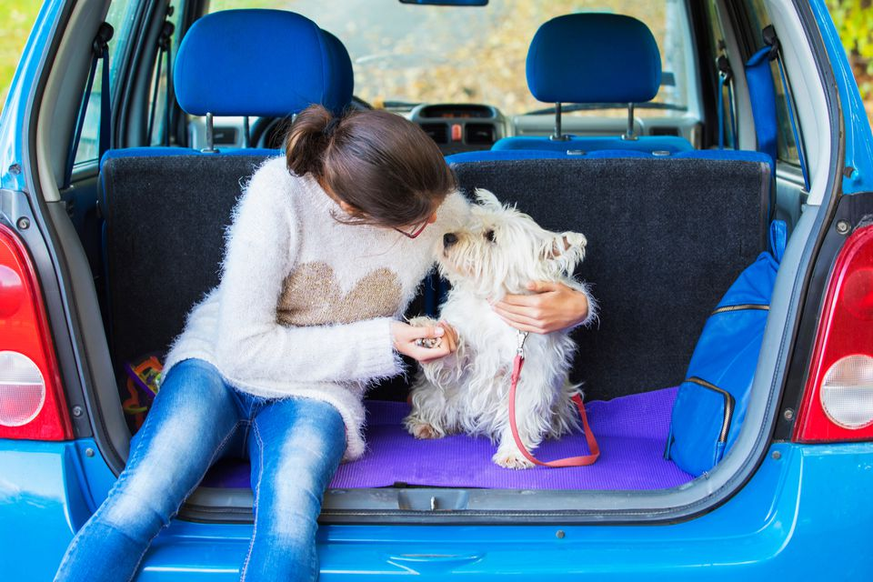 Girl Playing With West Highland Terrier in back of car