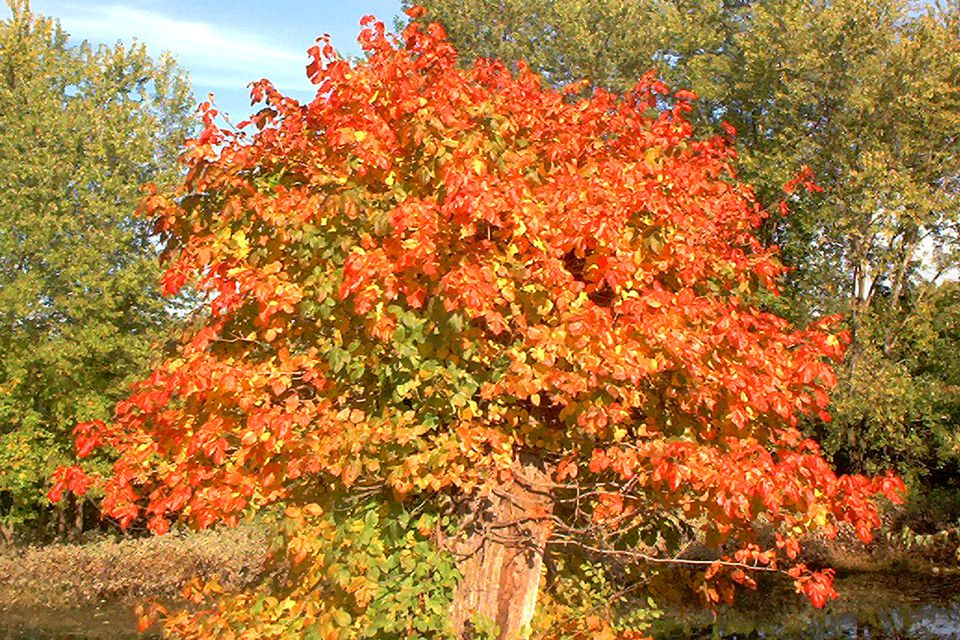 Image: dead tree covered with poison ivy in its fall color (orange).