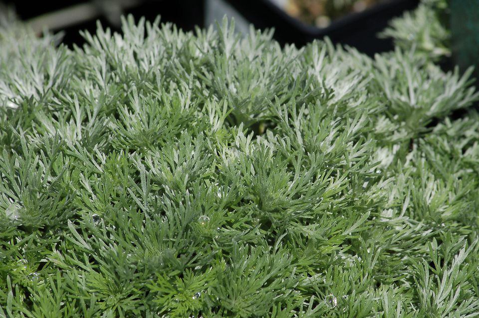 Silver Mound artemisia (image) is a ground cover. True to its name, it has silvery leaves.