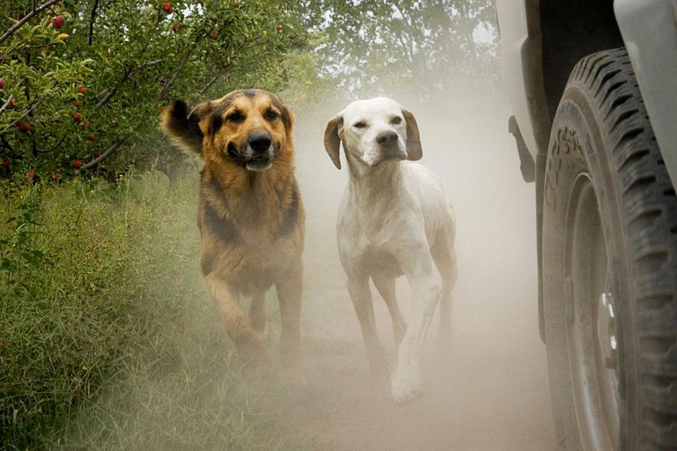 Two dogs chasing car in dust