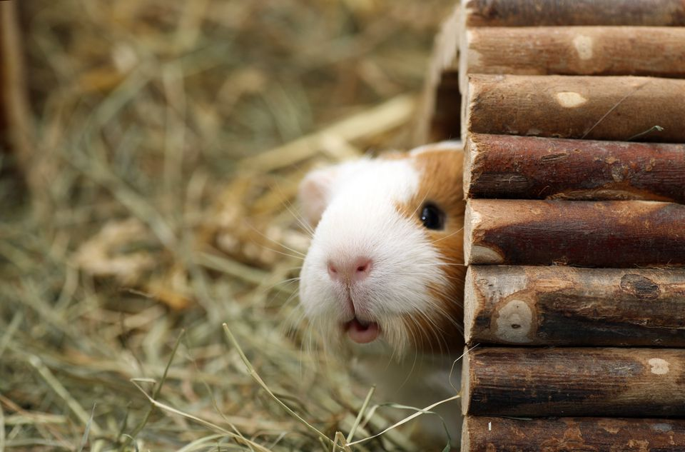 Hiding guinea pig