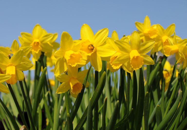 Daffodils_1500