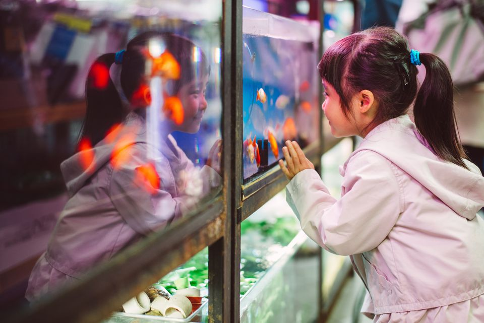 Little girl looking into a gold fish tank