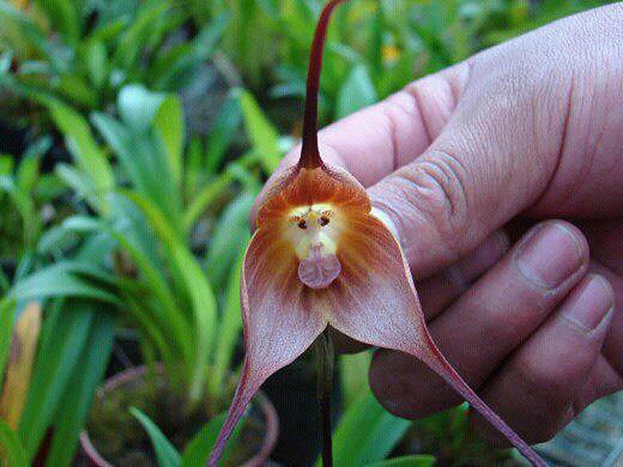 Image result for monkey flower