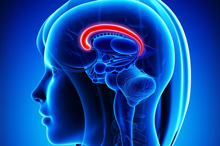Brain: Cingulate Gyrus