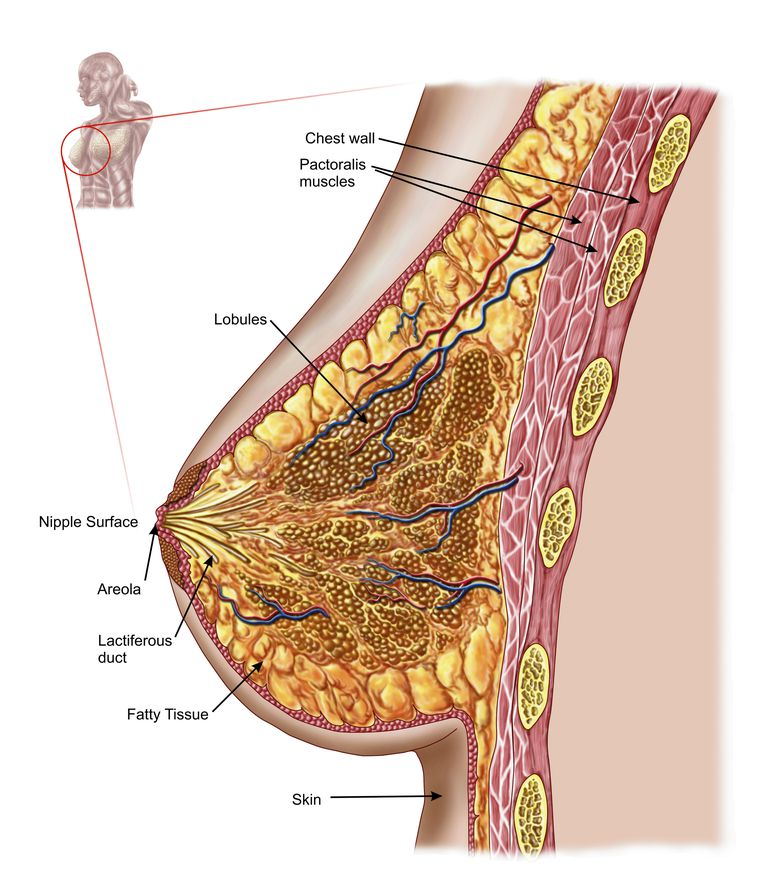 Breast definition and anatomy. What are the parts of the breasts?