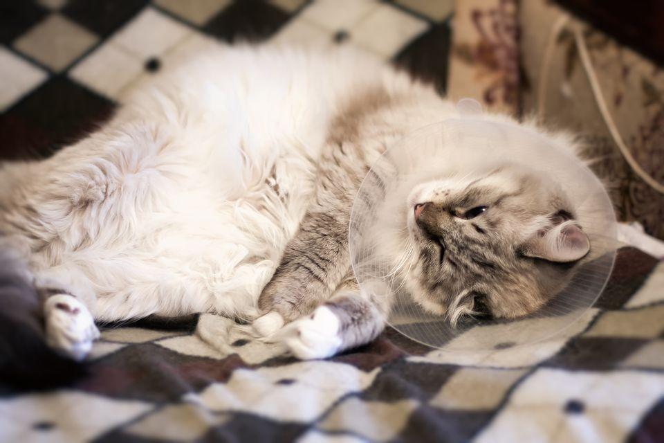 Beautiful white cat, breed Siberian Neva Masquerade in a plastic collar