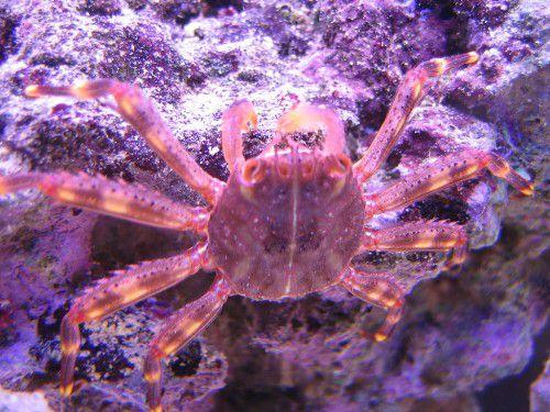 Saleem Banatwala's Sally Lightfoot Crab