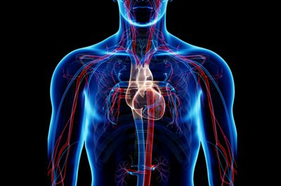 cardio vascular respiratory system working together The respiratory system works with circulatory system  the circulatory system contains the heart and the blood vessels and moves blood throughout the body.