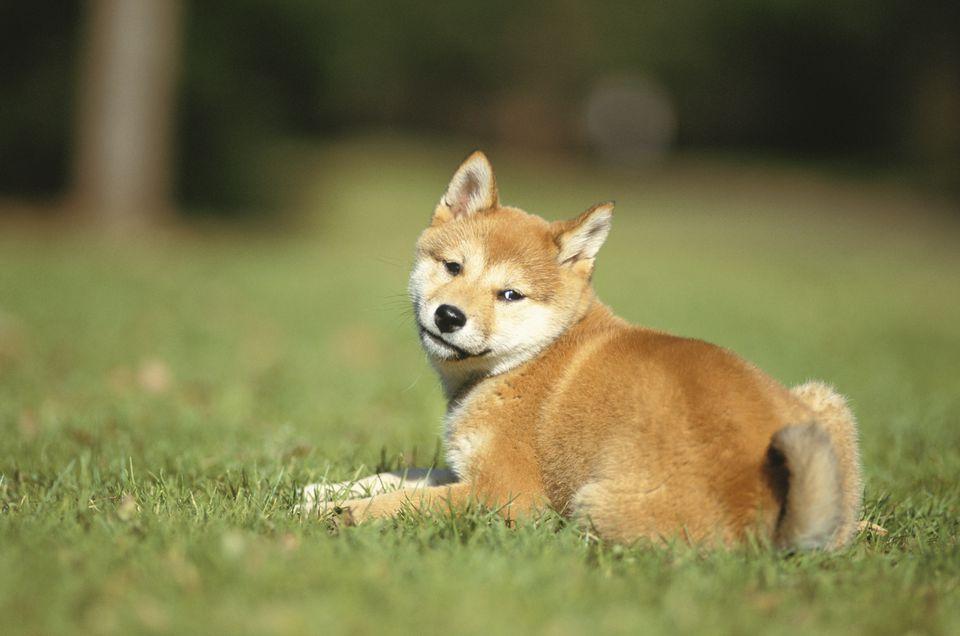 Shiba Inu in grassy field