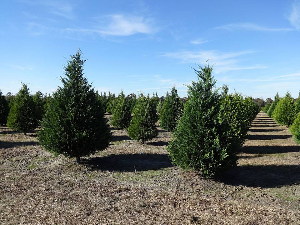 Christmas trees at a farm, ready to be cut down.
