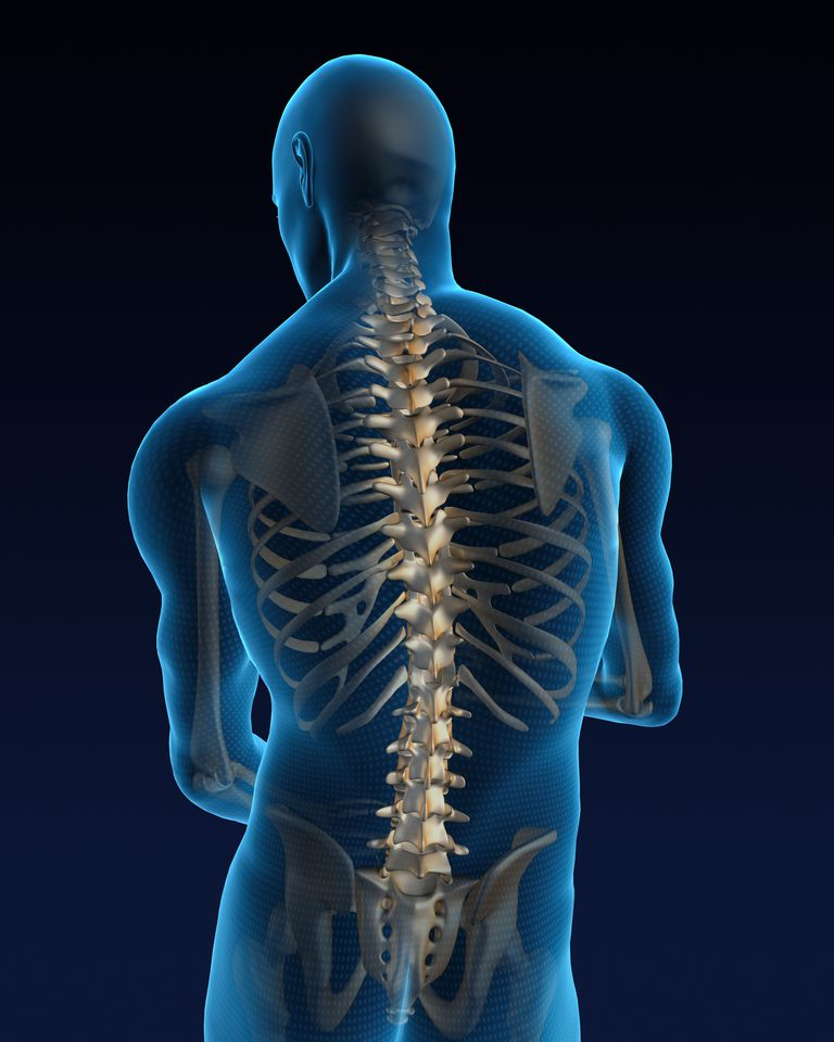 Graphic depiction of a human spine and ribs in the body.