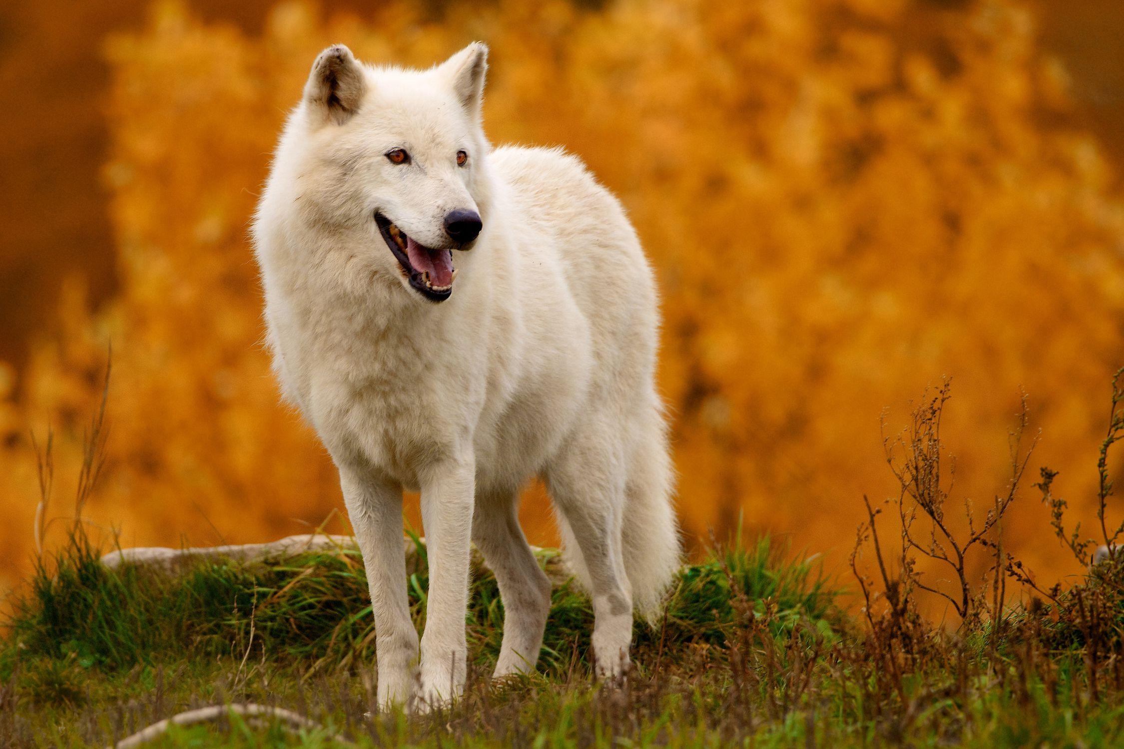 Канадский белый волк фото