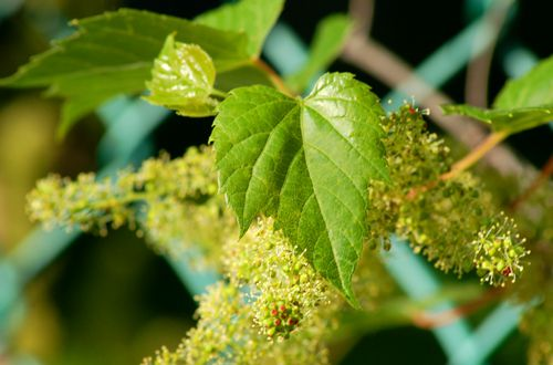 Picture of grapevine in flower.