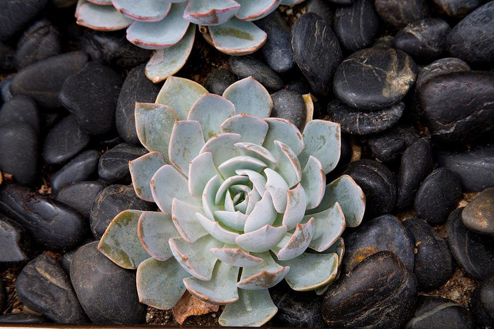 Sempervivum or hens and chicks among stones