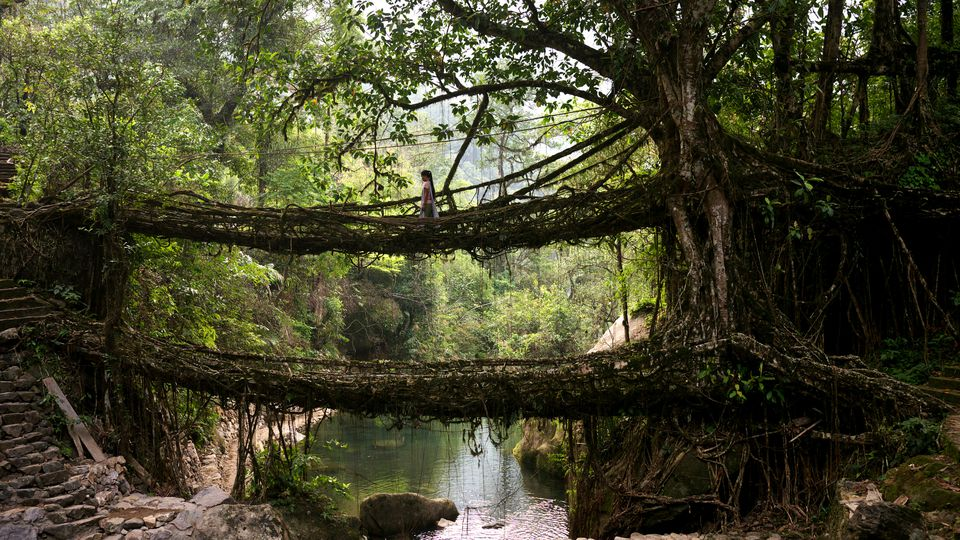 Living tree root bridge in Nongriat Village
