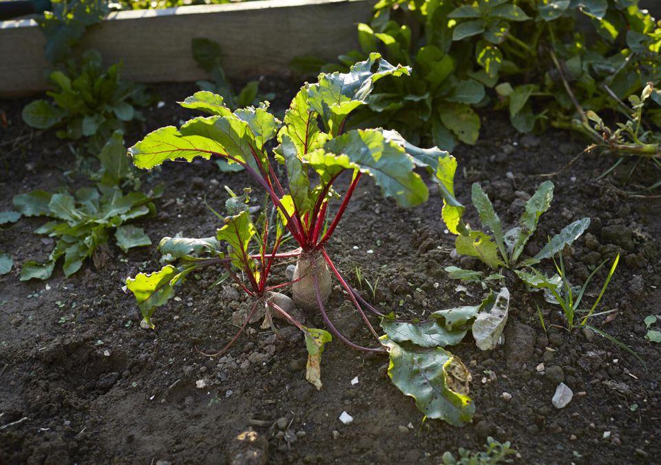 Beetroot in private vegetable garden