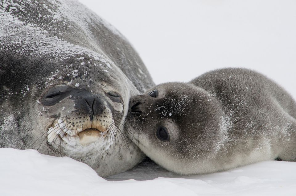 baby seal giving a kiss to her mother