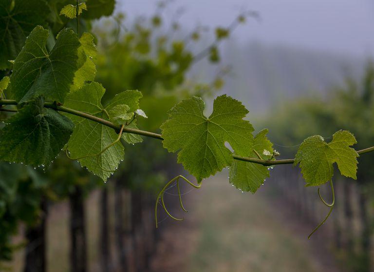 California Grapevine