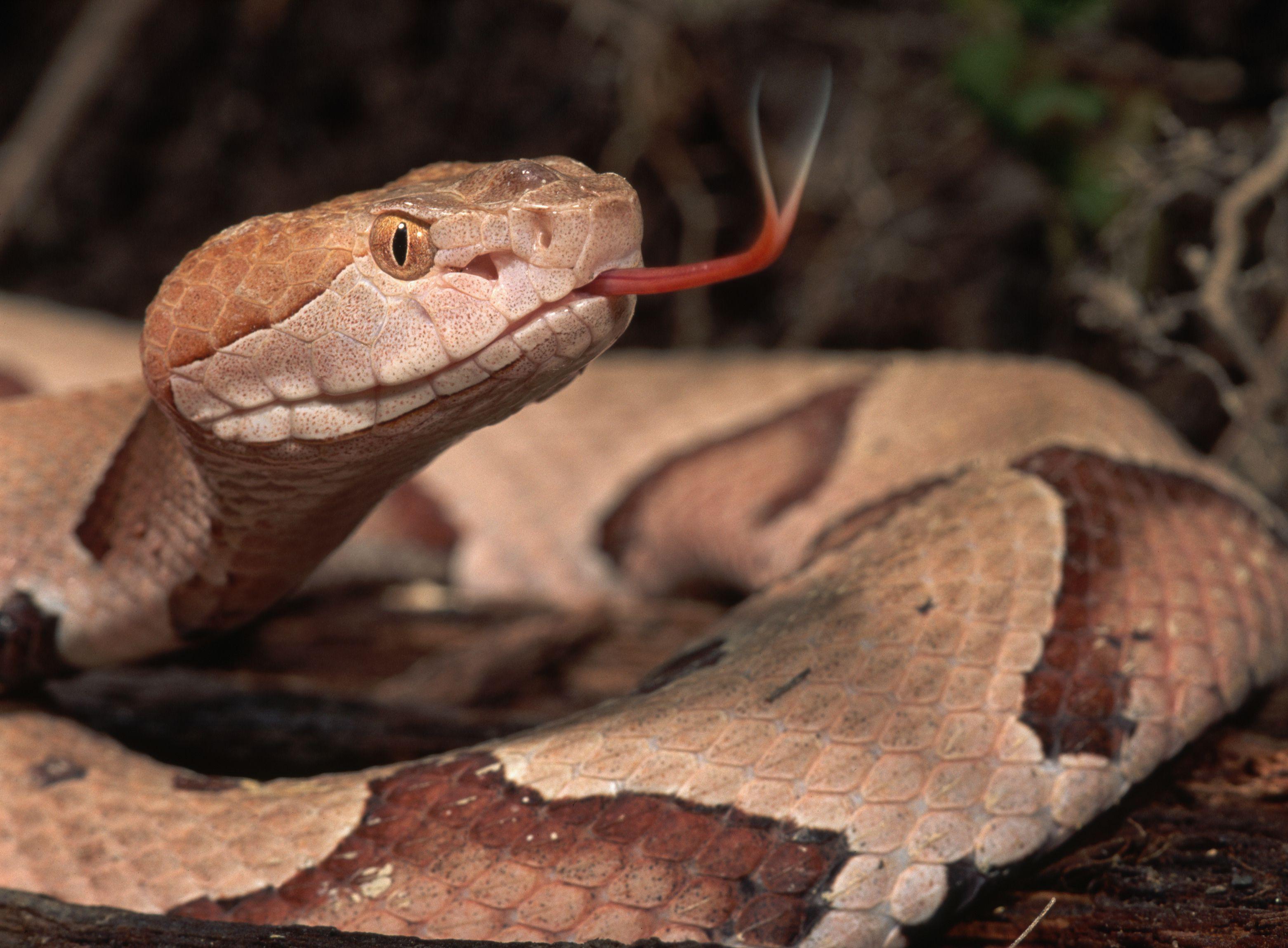 Poisonous Snakes In Georgia