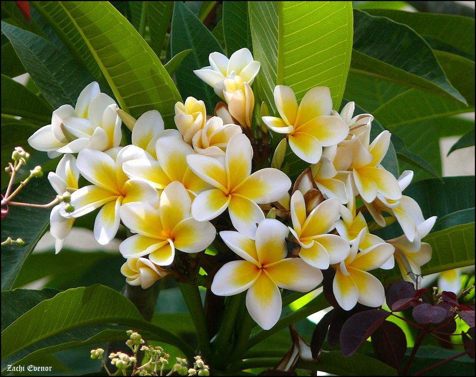 The white frangipani is also known as plumeria