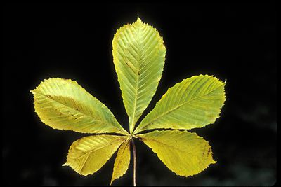Tree Leaf Key Identify 50 Common North American Trees
