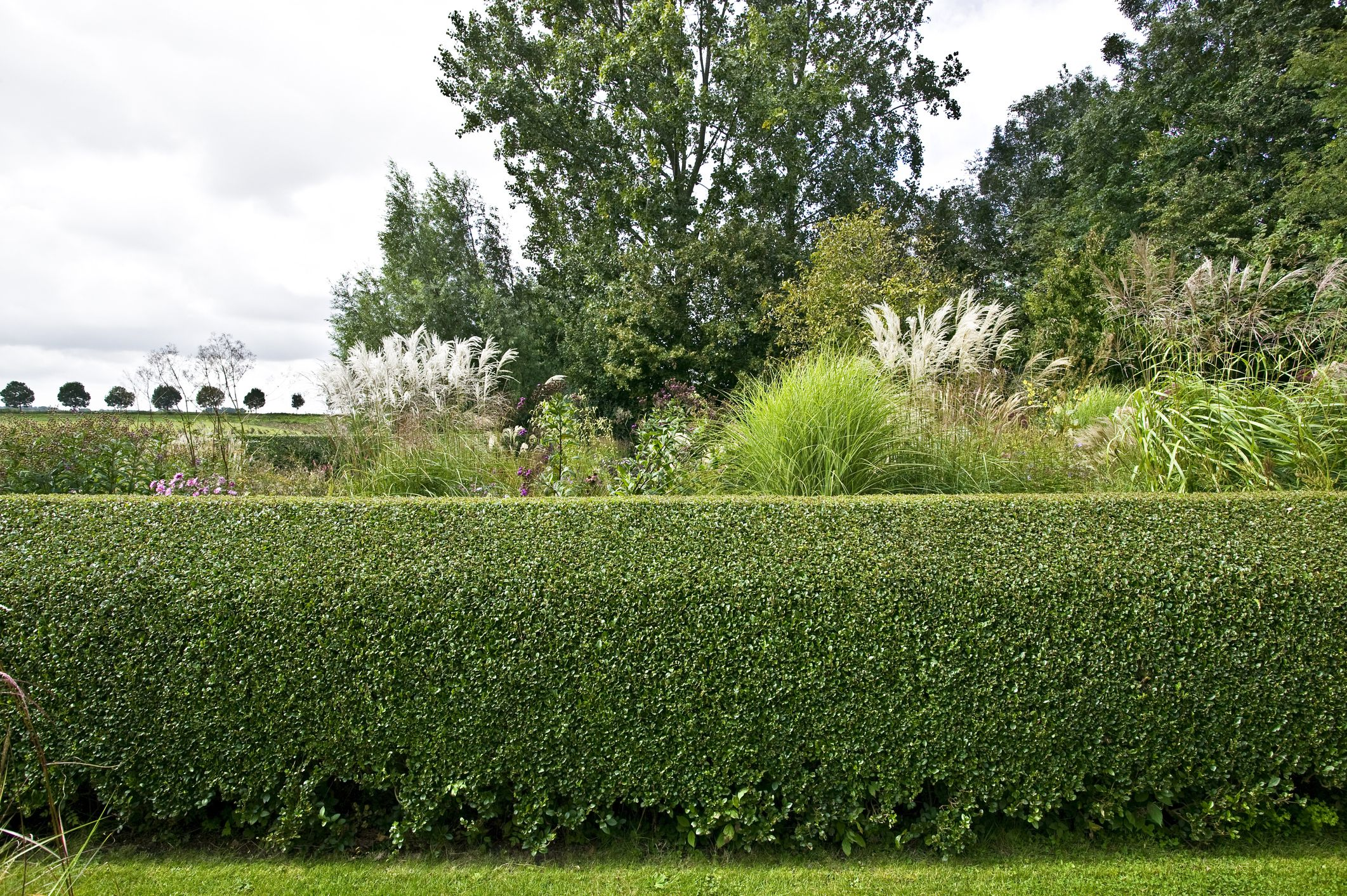 Care Tips for Healthy, Lush Privet Hedges