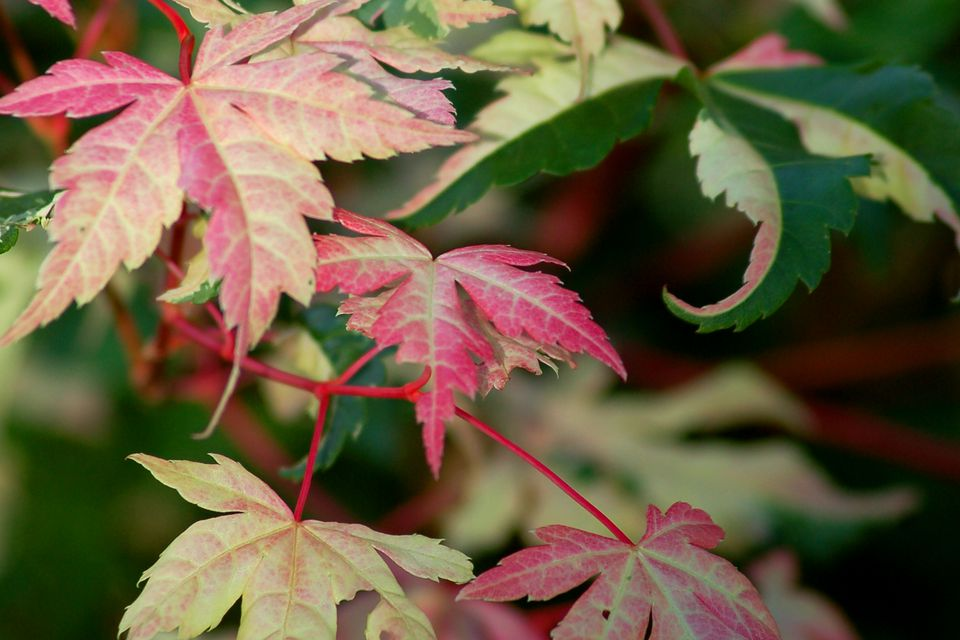 Harriet Waldman is a type of Japanese maple tree that is tricolored. I find its leaves brown up at the margins rather easily.