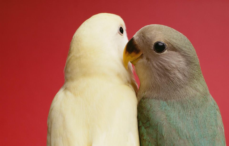 Caring For Pet Lovebirds All About Pet Lovebirds